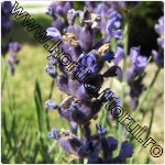 Lavanda-Lavandula angustifolia