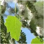 Plopul alb-Populus alba
