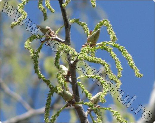 Plopul-alb-Populus-alba