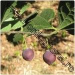 Sambovina-Celtis australis-1