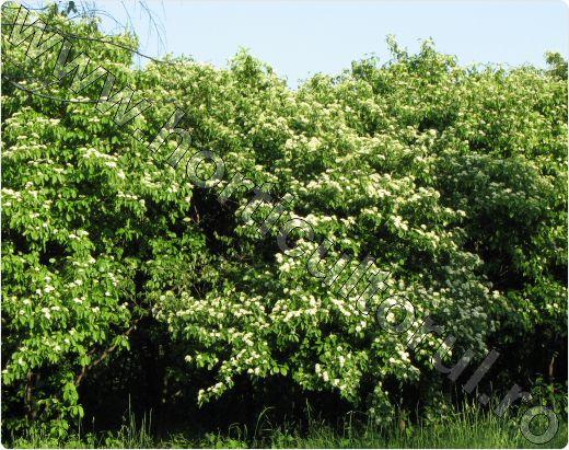 Sanger-Cornus-sanguinea