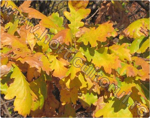 Stejar-Quercus-robur