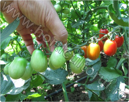 Tomate-Tokita-Sungrape
