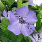 Vinca minor-Saschiu-1