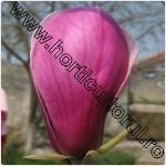 magnolia soulangeana-1