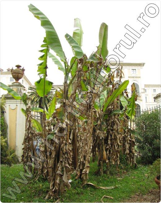 Bananier-musa-paradisiaca