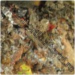 Cancerul deschis al ramurilor-Neonectria galligena