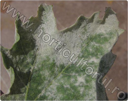 Fainarea-la-Platan-frunza