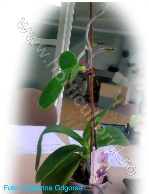 Orhidee Phalaenopsis_Inmultire