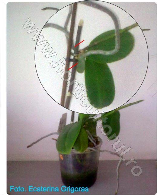 Orhidee Phalaenopsis_Inmultirea prin keiki