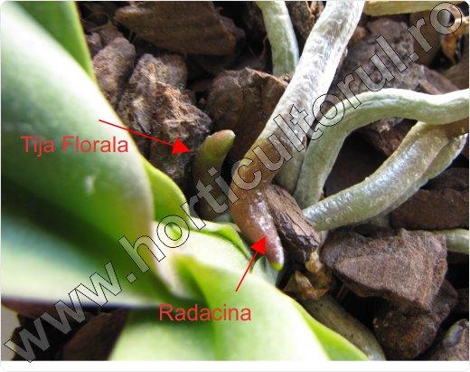Orhidee Phalaenopsis_tija florala_radacina