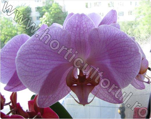 Fig. 1 Orhidee Phalaenopsis spp.