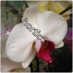 Orhideea Phalaenopsis-ingrijire