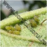 Paduchele verde al marului-afide-mar