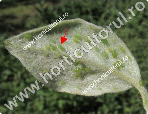 Paduchele verde la gutui-Aphis pomi