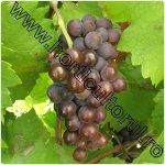 Pinot Gris-vita de vie-franta