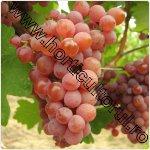 Traminer roz-strugure de vin
