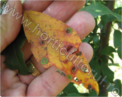 ciuruirea frunzelor