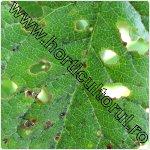 ciuruirea micotica frunzelor la prun