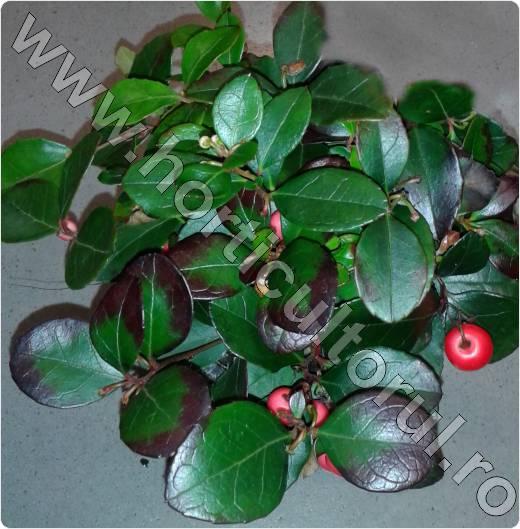 Gaultheria procumbens 'Big Berry'