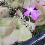 pinguicula-plante carnivore