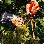 recoltarea strugurilor de vin