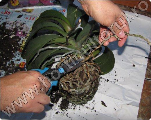 schimbare ghiveci orhidee