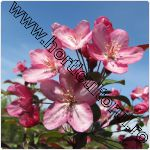 Mar ornamental - malus