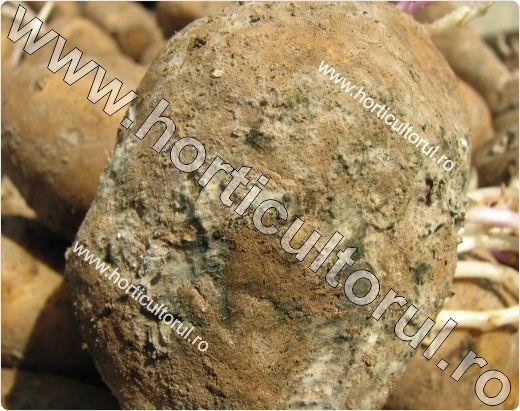 Nematodul tulpinilor si tuberculilor de cartof (Ditylenchus destructor)