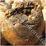 Nematodul tulpinilor si tuberculilor de cartof-Ditylenchus destructor