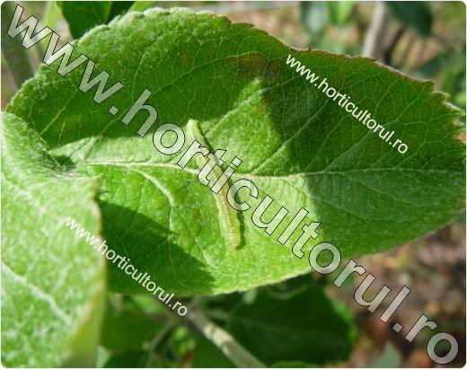 Omida pielitei fructelor-Adoxophyes reticulana