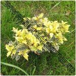Osmanthus heterophyllus-Tricolor-arbust