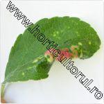 Paduchele roz galicol al marului -Dysaphis -leaf