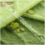 Paduchele verde al cartofului-tomatelor-vinetelor