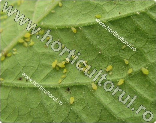 Paduchele verde al cartofului