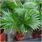 Palmierul fantana-Livistona rotundifolia