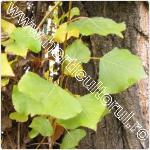 Populus nigra-Italica