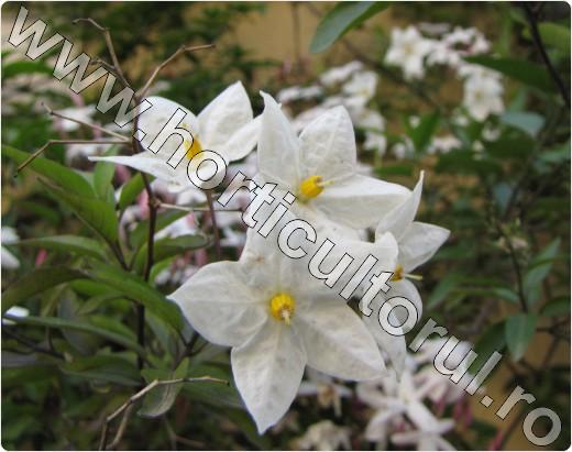Solanum jasminoides Album