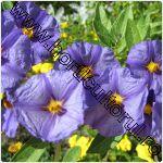Solanum spp.