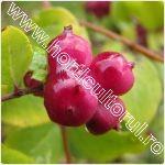 Symphoricarpos orbiculatus -Coralberry