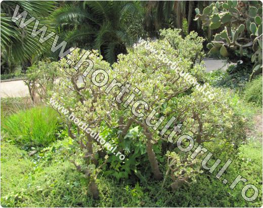 Crassula-ovata-floare
