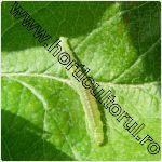 molia pielitei fructelor-Adoxophyes orana
