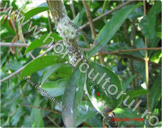 Metcalfa pruinosa-apac rodie-Punica granatum