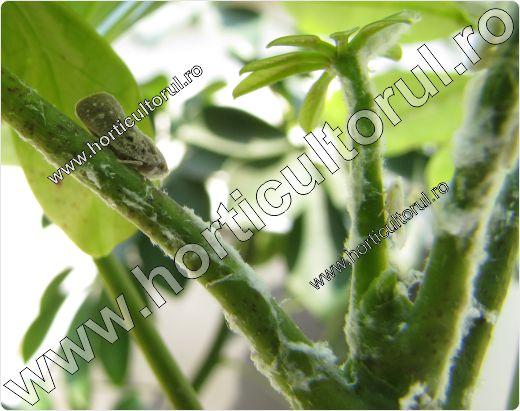 Metcalfa pruinosa-atac pe-Schefflera actinophylla