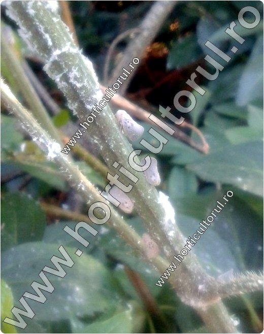 Metcalfa-pruinosa-forsythia-intermedia-timisoara