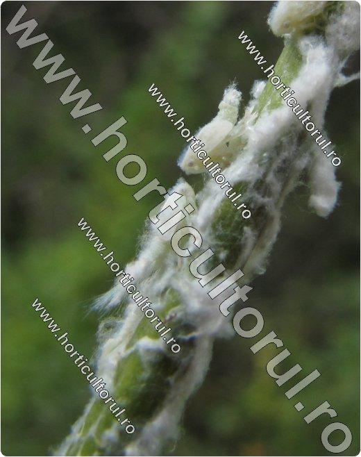 Metcalfa pruinosa-larve