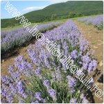cultivarea lavandei-1