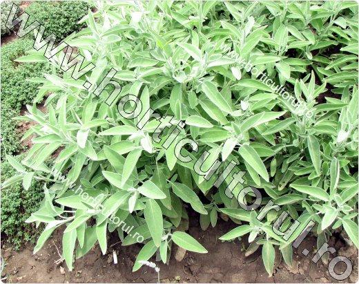 Fig. 1 Salvia (Salvia officinalis)