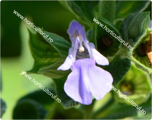 Fig. 3 Salvia (Salvia officinalis)