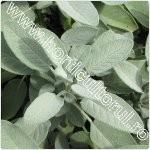 salvia de gradina-Salvia officinalis